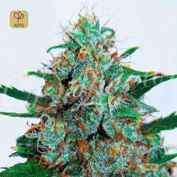 Critical Neville Haze Auto · Delicious Seeds