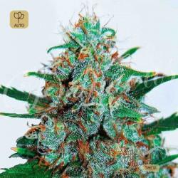 Critical Neville Haze Auto · Delicious Seeds