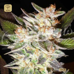 Delicious Candy Auto · Delicious Seeds