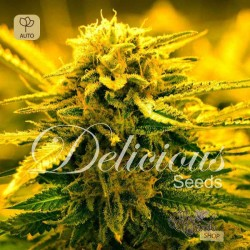 Sugar Black Rose Auto · Delicious Seeds
