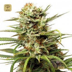 Auto White Widow · Dutch Passion