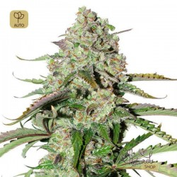 Auto Colorado Cookies · Dutch Passion