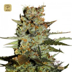 Auto Blueberry · Dutch Passion