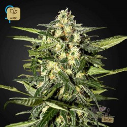 Jack Herer Auto · Green House