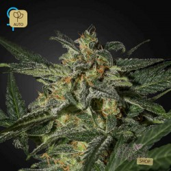 White Widow Auto · Green House