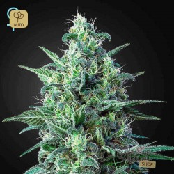 White Widow Auto CBD · Green House
