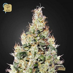 Exodus Cheese Auto CBD · Green House Seeds