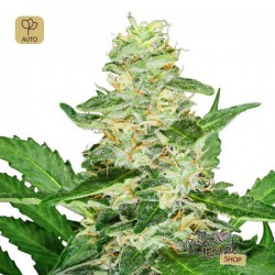 Super Skunk Auto · Sensi Seeds