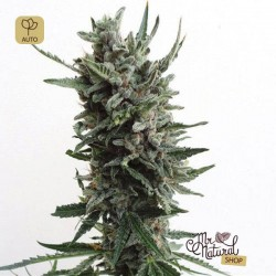 Auto Critical HOG · T.H.Seeds