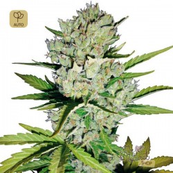 Super Skunk Auto · White Label