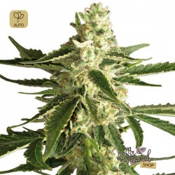 White Diesel Haze Auto · White Label