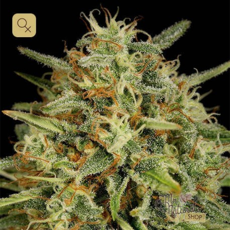 Strawberry Amnesia · Dinafem