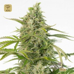 Cheese Auto CBD · Autodinafem