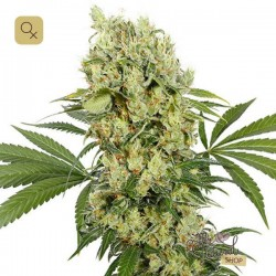 Medikit CBD · Buddha Seeds