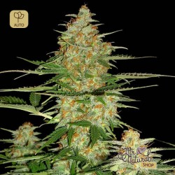 60 Day Wonder Auto · DNA Genetics