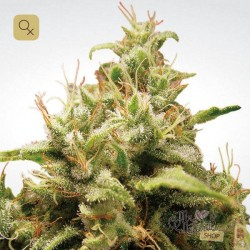 Opium · Paradise Seeds