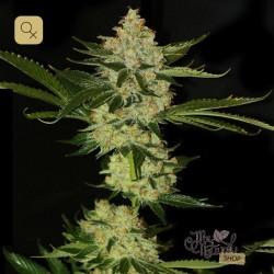 Underdawg OG · T.H.Seeds