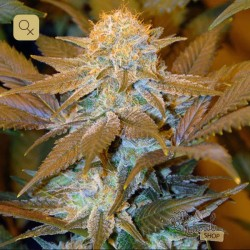 Critical HOG · T.H. Seeds