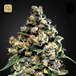 Jack Herer Fem · Green House