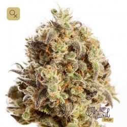 Black Pearl 1 · Mr Natural Seeds