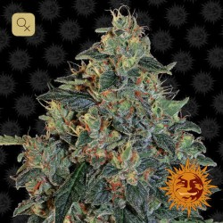 Blueberry OG · Barney´s Farm