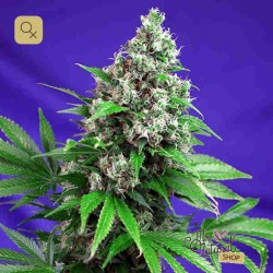 Killer Kush F1 Fast Version · Sweet Seeds