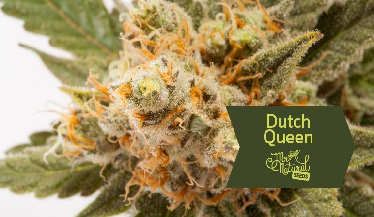 Dutch Queen Mr. Natural Seeds